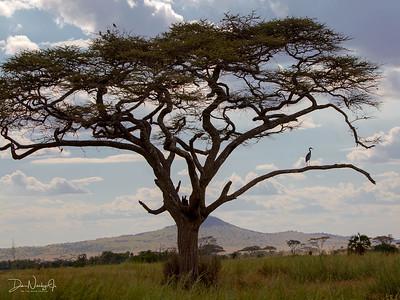GREY HERON IN BALANITE TREE
