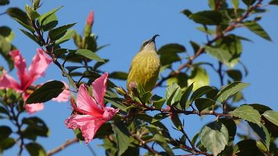 Variable Sunbird (fem)