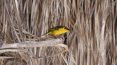 Baglafecht Weaver (female)