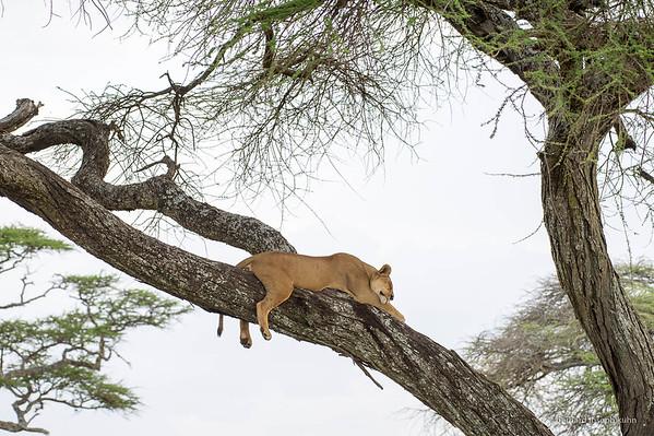 Serengeti, Tanzanie