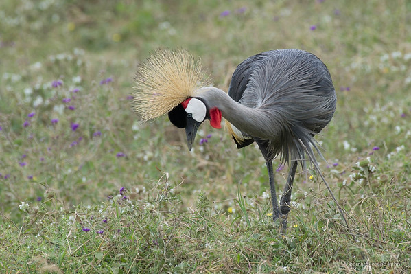 • Grey crowned crane