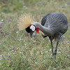 • Grey crowned crane