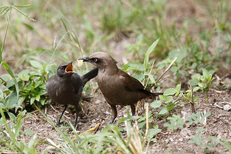 Ashy Starling, adult and juvenile.