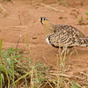 Black-faced Sandgrouse, male