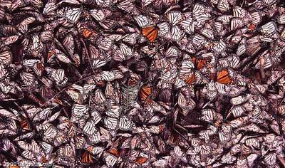Mexico - Monarchs