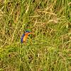 Malachite Kingfisher, Maasai Mara, Kenya