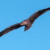 Tawny Eagle in flight, Maasai Mara, Kenya