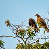 A pair of Black Kites, Kenya