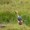 Grey-crowned Crane, Maasai Mara, Kenya