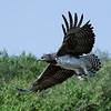Martial Eagle, Maasai Mara, Kenya