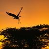 Secretary bird taking off at dawn, Maasai Mara, Kenya