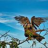 A pair of mating Black Kites, Kenya