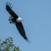 Fish Eagle, Maasai Mara, Kenya