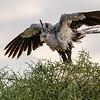 Secretary Bird, Maasai Mara, Kenya