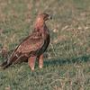 Tawny Eagle, Maasai Mara, Kenya