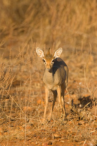 World's Smallest Antelope - Dik-dik - in Samburu NR