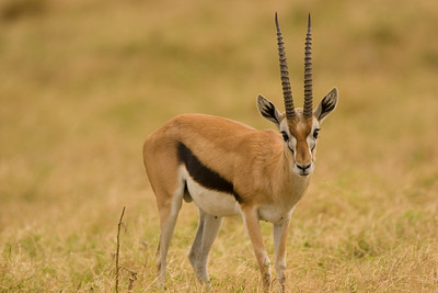 Thompson's Gazelle, Amboseli NP