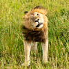 Lion shaking its mane, Maasai Mara, Kenya