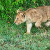 Playful lion cub, Maasai Mara, Kenya