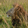 Lion in the early morning, Maasai Mara, Kenya