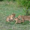 Lion cubs at play, Maasai Mara, Kenya