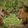 Mating pair, Maasai Mara, kenya