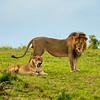 Mating lions, Maasai Mara, Kenya