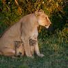 Lioness with two cubs, Maasai Mara, Kenya