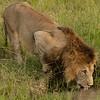 Lion drinking at waterhole, Maasai Mara, Kenya