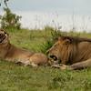Mating lions, Maasai Mara