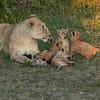 Lioness with four cubs, Maasai Mara, Kenya