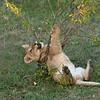 Lion cub at play, Maasai Mara, Kenya