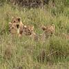 Lion Cubs, Maasai Mara, Kenya