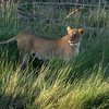 Lioness in the long marsh grass, Maasai Mara, Kenya