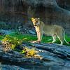 Lioness on the rock, Maasai Mara, Kenya