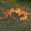 Lion cubs playing in the early morning, Maasai Mara, Kenya