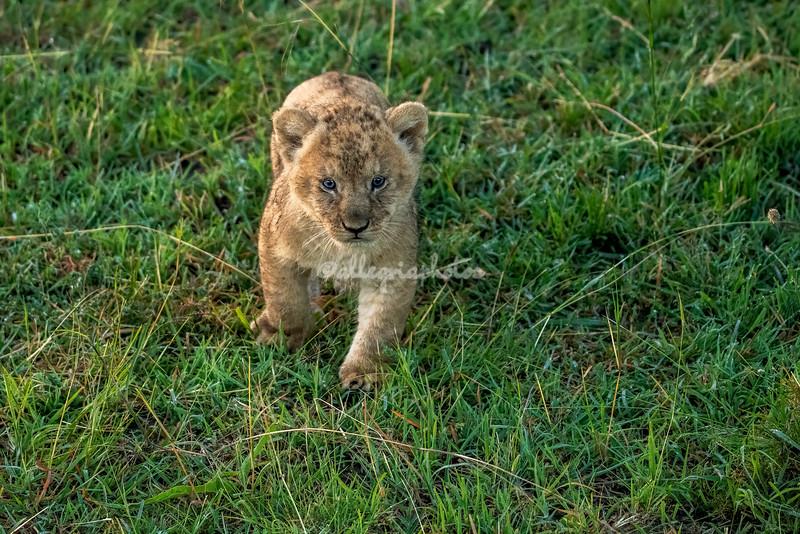 New born Lion cub