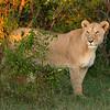 Lioness in the grass, Maasai Mara, Kenya
