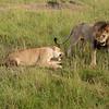 Mating pair of lions, Maasai Mara, Kenya