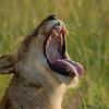 Morning yawn, Maasai Mara, Kenya