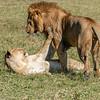 Mating pair, Lions, Maasai Mara, Kenya