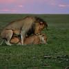 Mating pair, Lions, Maasai Mara, Kenya,