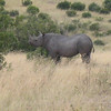 The black rhino in Masai Mara.