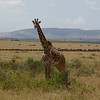 Lone giraffe in front of the gnu migration in Masai Mara.
