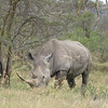 Re,member the 11 white rhinos !  This one looked like a mac truck.