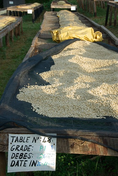 "Ordinarily one would see people standing over the beans and hand sorting blemished ones out.  It was just a few weeks away from the presidential election, however, and management was complaining that many were out in the town politicking.  At the small farm cooperative processing centers (part 3) we would not see this, since there the farmers' livelihoods are on the line.<br /> Each harvested and processed batch is handled separately, one reason why some Kenya lots can be sublime. The beans here are a 1st Grade coffee (the densest).  26 ""debes"": a debe is a bucket."