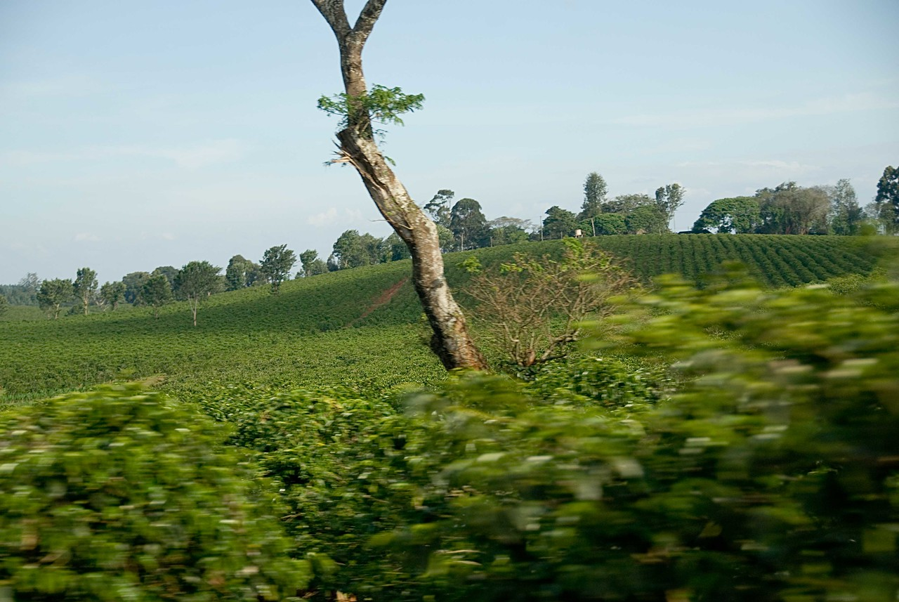 Driving past coffee estates.  At over 5,000 feet the land rolls gently.