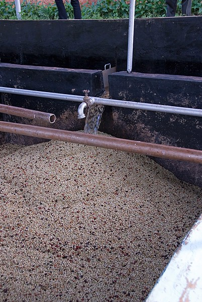 After being depulped, the beans are still coated with a thin layer of fruit called mucilage. They must ferment (the mucilage will rot, essentially) for up to 36 hours. Then turbulent water can wash away any fruit coating.  If great care is not taken the odor of rotting fruit will be absorbed by the bean and coffee drinkers will taste it in their cups.