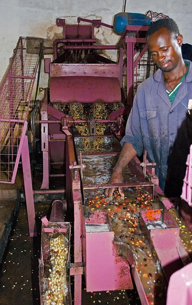 Cherries exit  the receiving tank, behind the white wall, and are depulped.  Those that float are over-ripe or diseased.  Better quality beans sink; these are seen exiting to the left, below.  More shots of depulping are shown in part 3 of this Kenya visit.