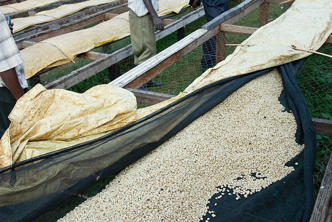 It takes 7 to 10 days for the beans to dry.  Racks allow ventilation from below to even out and to quicken drying.  The beans are protected from occasional rain by a plastic covering ,which can quickly be put over them or removed